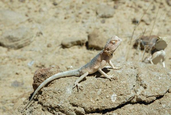 Anchietas Agame (Agama anchietae) kommt in einer Vielzahl von Lebensräumen vor, darunter Wüsten, Buschland und Grasland.