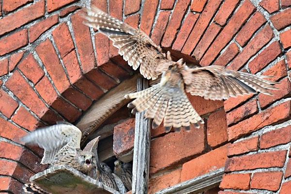 Fütterung der Turmfalkenbrut (Falco tinnunculus)