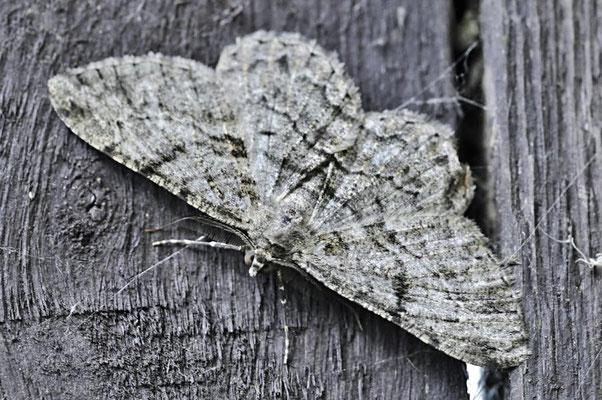 Großer Baumspanner (Hypomecis punctinalis)