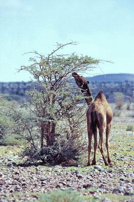 Das Dromedar (Camelus dromedarius) wird auch als Einhöckriges oder Arabisches Kamel bezeichnet. Es ist eine Säugetierart aus der Gattung der Altweltkamele.