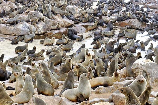 Südafrikanische Seebären (Arctocephalus pusillus), im 19. Jahrhundert wurde diese Art durch starke Bejagung an den Rand der Ausrottung gebracht.