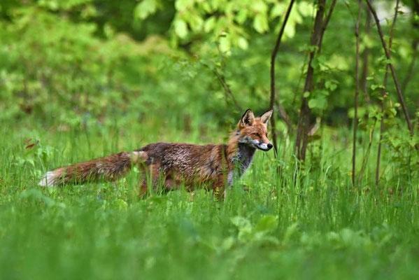 Fuchs/Rotfuchs (Vulpes vulpes), Berlin-Dahlem
