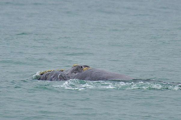 Südkaper oder Südlicher Glattwal (Eubalaena australis) mit Wucherungen von Seepocken und Walläusen.