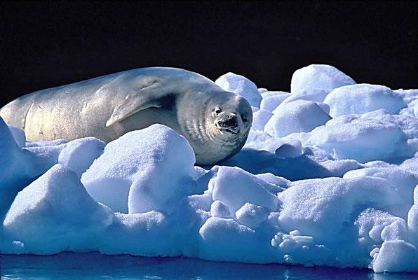 Der Krabbenfresser (Lobodon carcinophaga) ist eine in südpolaren Gewässern verbreitete Robbe.
