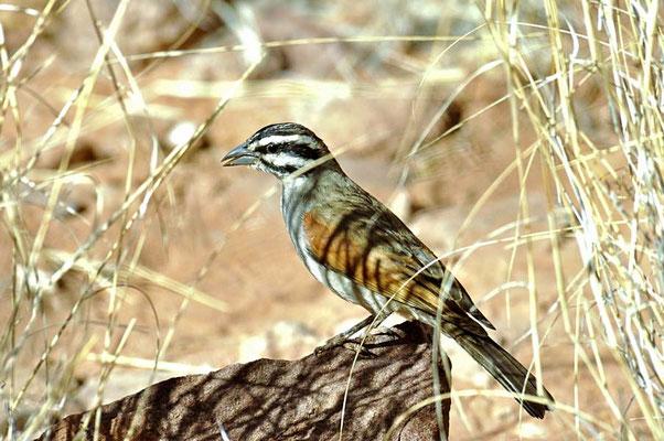 Kapammer (Emberiza capensis), ihr Lebensraum sind steinige Hänge und trockenes, dürres Buschwerk,
