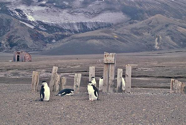 Zügelpinguine (Pygoscelis antarctica) in den Hinterlassenschaften der Walfänger.