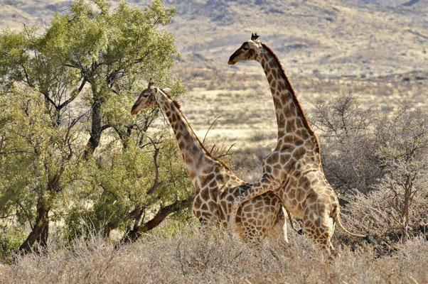 Angola-Giraffen (Giraffa camelopardalis angolensis), die Paarung hat nicht geklappt.