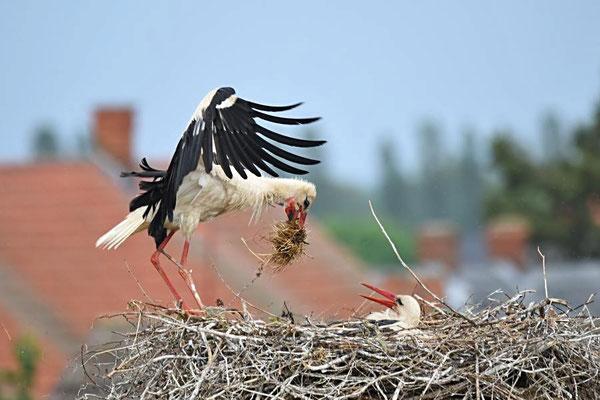 Weißstörche (Ciconia ciconia) beim Nestbau in Rühstädt