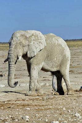 Afrikanische Elefantenbulle (Loxodonta africana) sind bis zum 55. Lebensjahr fruchtbar. Ihre Lebenserwartung beträgt 70 Jahre.