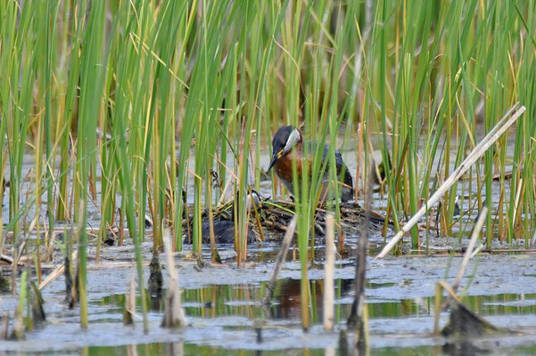 Das Weibchen der Rothalstaucher (Podiceps grisegena) übernimmt nun das Brüten.