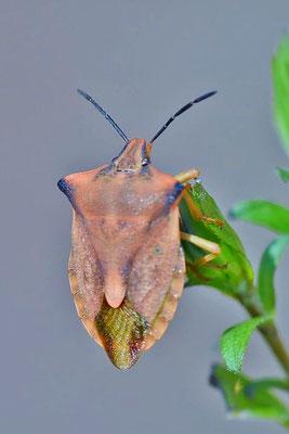Nördliche Fruchtwanze (Carpocoris fuscispinus)