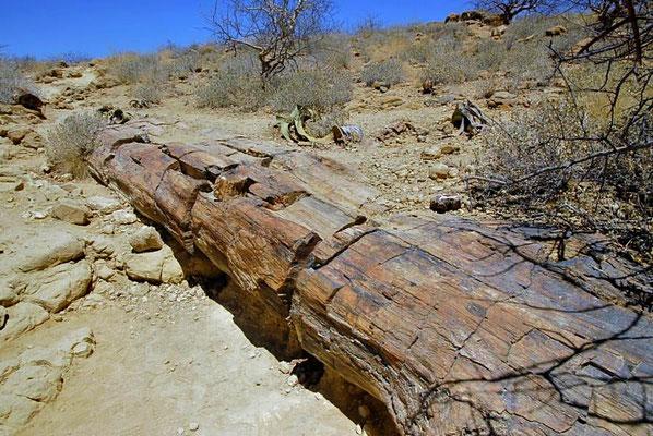 Beim Versteinerten Wald, das längste Exemplar besitzt am oberen Ende immer noch einen Durchmesser von fast 1 m.
