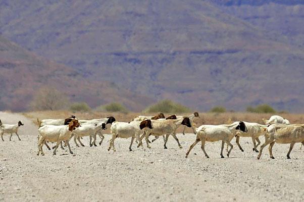 Die Burenziegen (Capra aegagrus f. hircus) sind eine Rasse der Hausziege, die ihren Ursprung in Südafrika hat und vor allem zur Fleischerzeugung gezüchtet wird.
