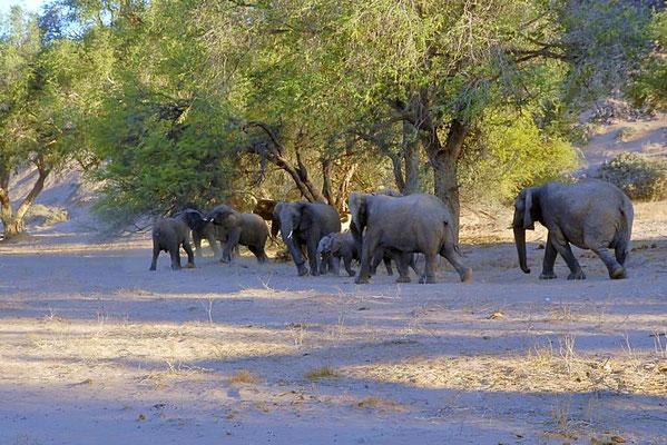""""""" Wüstenelefanten """" (Loxodonta africana africana). Familienverband, mehrere Kühe mit ihren unterschiedlich alten Jungtieren."""
