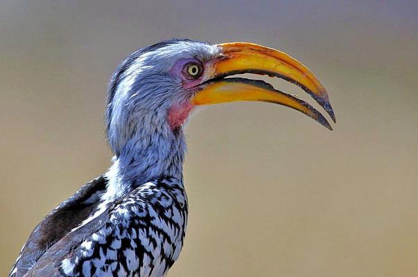"""Der Südliche Gelbschnabeltoko (Tockus flavirostris) wird wegen seines Aussehens in Namibia scherzhaft als """"Flying Banana"""" bezeichnet."""