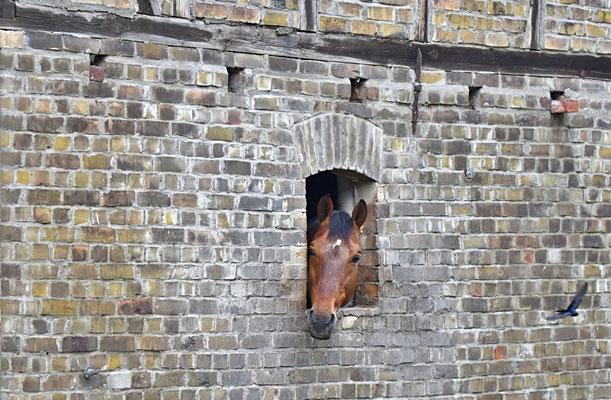 Hauspferd (Equus ferus f. caballus) guckt aus dem Haus.