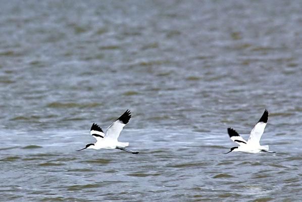Säbelschnäbler (Recurvirostra avosetta), Wattseite