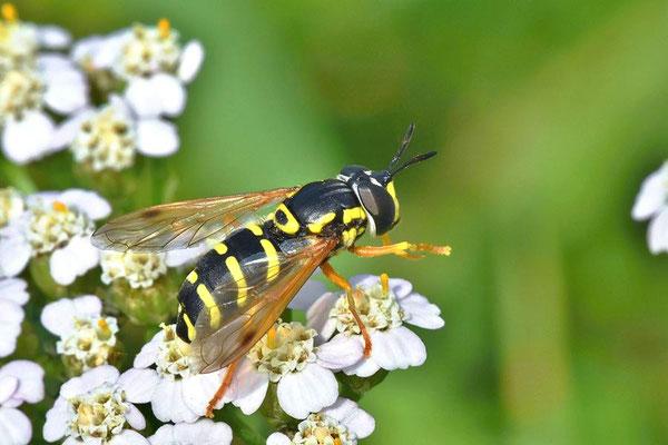 Späte Wespenschwebfliege (Chrysotoxum arcuatum)