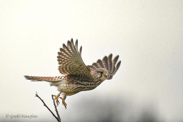 Turmfalke (Falco tinnunculus) weibl.