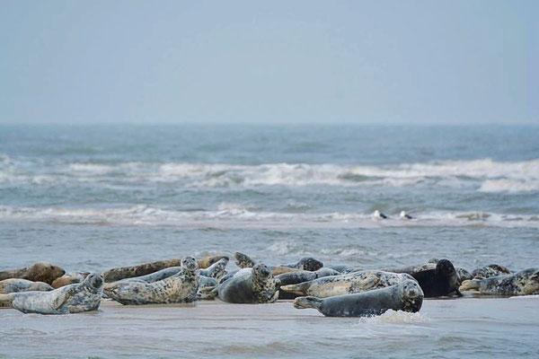 Kegelrobben (Halichoerus grypus) auf einer Sandbank