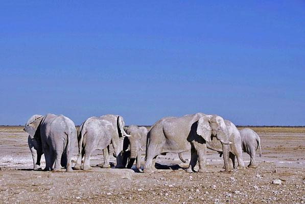 Afrikanische Elefanten (Loxodonta africana), Bullen am Wasserloch.