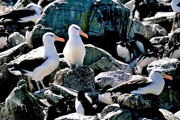 Schwarzbrauenalbatros (Thalassarche melanophris), er ist der am weitesten verbreitete und häufigste Vertreter der Familie der Albatrosse (Diomedeidae).