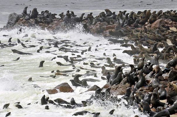 Südafrikanische Seebären (Arctocephalus pusillus), in der Kolonie am Cape Cross leben ca. 200000 Exemplare.