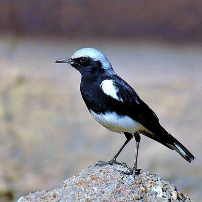 Der Bergsteinschmätzer (Oenanthe monticola), englisch Mountain Chat oder Mountain Wheatear, ist ein insektenfressender Vogel aus der Familie der Fliegenschnäpperartigen (Muscicapidae).