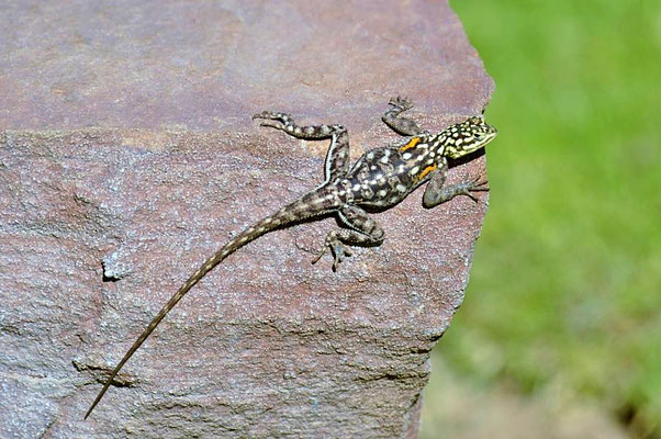 Namibische Felsenagamen (Agama planiceps) - weibl, weisen einen deutlichen Geschlechtsdimorphismus auf.