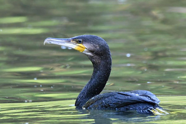 Kormoran (Phalacrocorax carbo), Berlin-Tiergarten