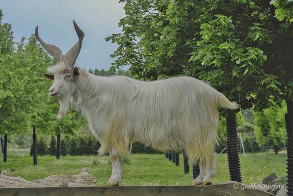 Girgentana-Ziege (Capra aegagrus f. hircus), junger Bock. Stammt ursprünglich aus der italienischen Provinz Agrigento (Sizilien).