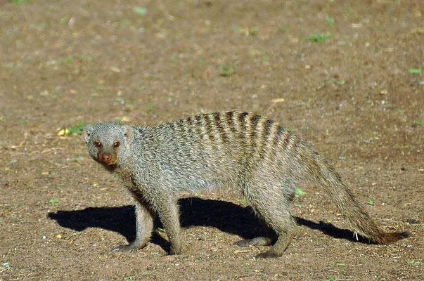 DieZebramanguste (Mungos mungo) ist in weiten Teilen Afrikas südlich der Sahara verbreitet und durch ihre Rückenstreifen charakterisiert.