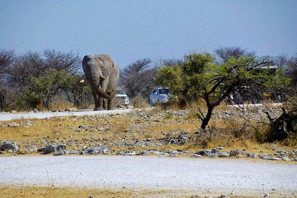 Afrikanischer Elefantenbulle (Loxodonta africana) auf dem Weg zum Wasserloch, verfolgt von einem Tross begeisteter Touristen.