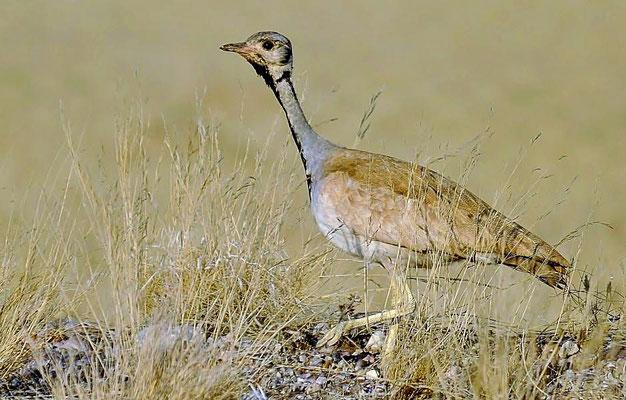 Die Rüppeltrappe (Eupodotis rueppellii) ist endemisch im trockenen Westen Namibias. Sie lebt in steinigen Gebieten mit wenig Vegetation.