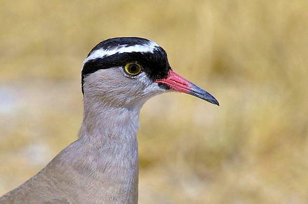 Der Kronenkiebitz (Vanellus coronatus) ist eine afrikanische Vogelart aus der Familie der Regenpfeifer (Charadriidae).