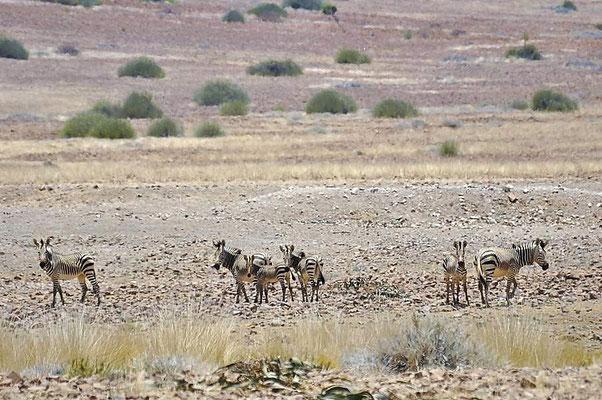 Hartmann-Bergzebras (Equus zebra hartmannae) leben in kleinen Verbänden.