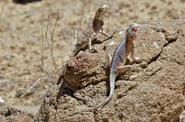 Anchietas Agame (Agama anchietae) wurde nach dem portugiesischen Entdecker José de Anchieta benannt.