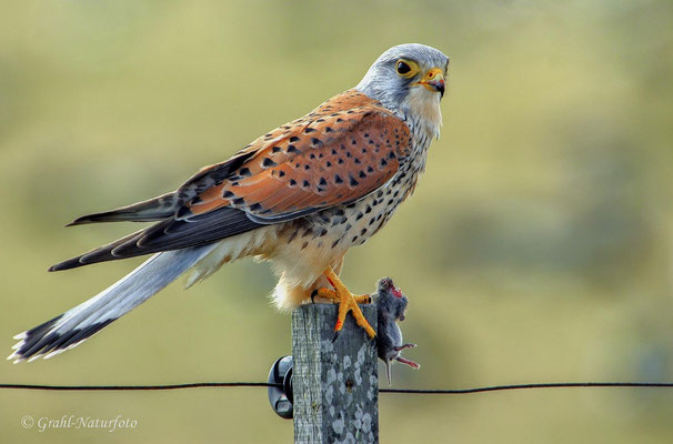 Turmfalke (Falco tinnunculus) männl.