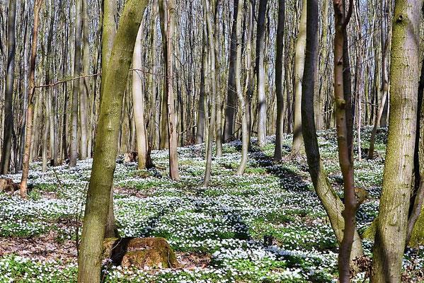 Ein Teppich aus Buschwindröschen (Anemone nemorosa) im Wald bei Angermünde,  Brandenburg