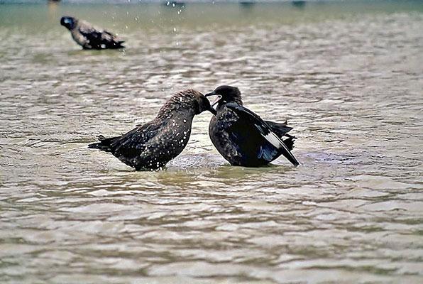 Die Subantarktikskua (Stercorarius antarcticus) ist eine Vogelart aus der Familie der Raubmöwen (Stercorariidae).