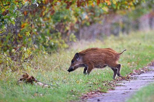 Wildschwein (Sus scrofa) - ca. 3 Monate alter Frischling überquert einen Plattenweg