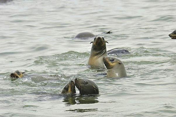 Südafrikanische Seebären (Arctocephalus pusillus) nehmen täglich 5-10 kg Fische, Tintenfische und Krebse zu sich.
