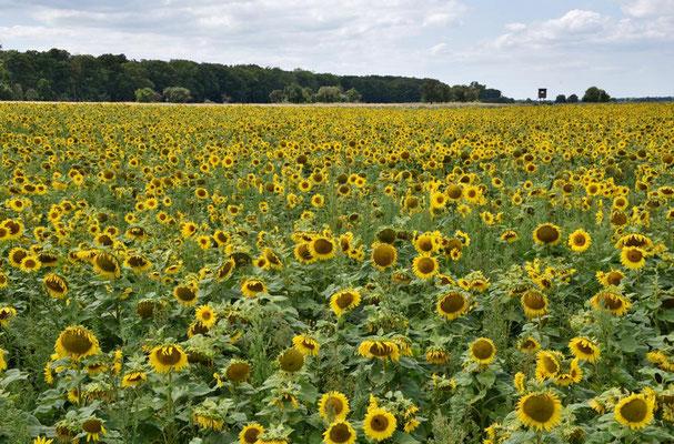 Feld mit Sonnenblumen (Helianthus annuus) bei Orion, Brandenburg