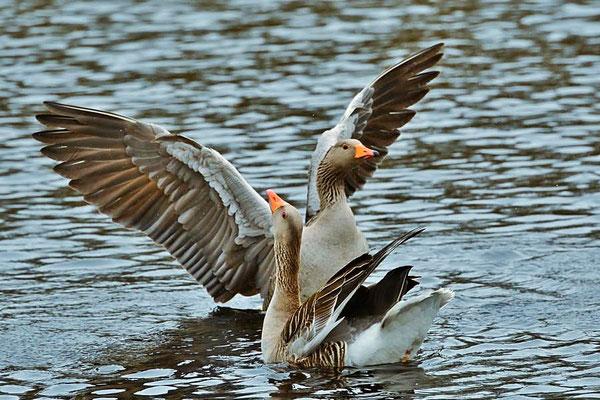 Graugänse (Anser anser) an der Vogelkoje