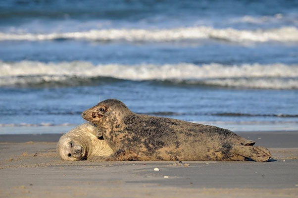 Mutter mit Jungtier am Nordstrand - Mit Sand paniert