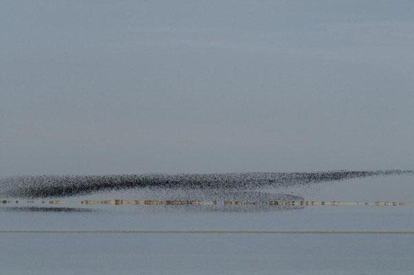 Limikolenschwarm über dem Wattenmeer