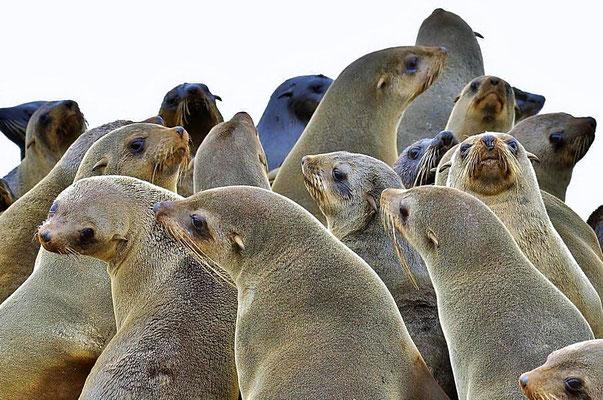 Südafrikanische Seebären (Arctocephalus pusillus), die Bestände haben sich heute merklich erholt. Es gibt über 1,5 Millionen Seebären an afrikanischen Küsten