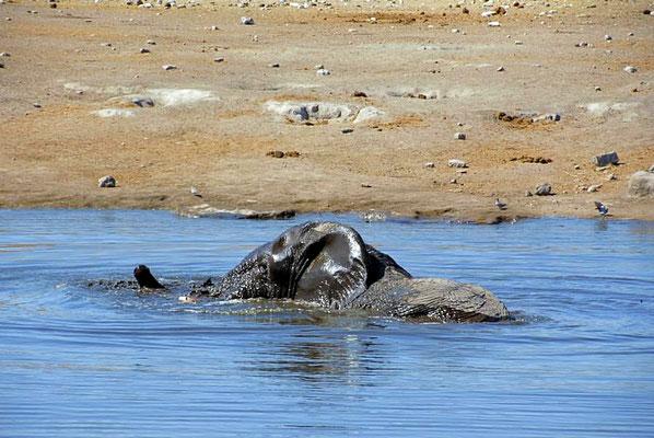 Afrikanischer Elefantenbulle (Loxodonta africana) beim baden. Vor Sonnenbrand schützen sich Elefanten, indem sie ihre Haut mit Schlamm bespritzen.