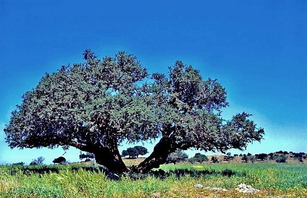 Der Arganbaum (Argania spinosa) kommt als Endemit im südwestlichen Marokko und südöstlichen Algerien vor