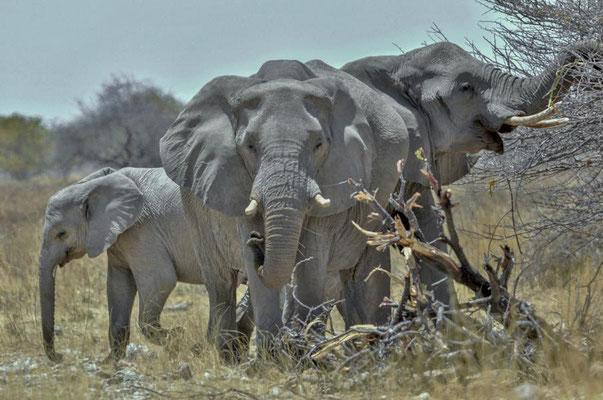 Afrikanische Elefanten (Loxodonta africana), Kühe mit Kalb. Im Gegensatz zum Asiatischen Elefanten besitzen in aller Regel sowohl die Männchen als auch die Weibchen Stoßzähne.